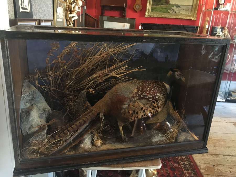 Cased Taxidermy Specimen Of A Male Pheasant