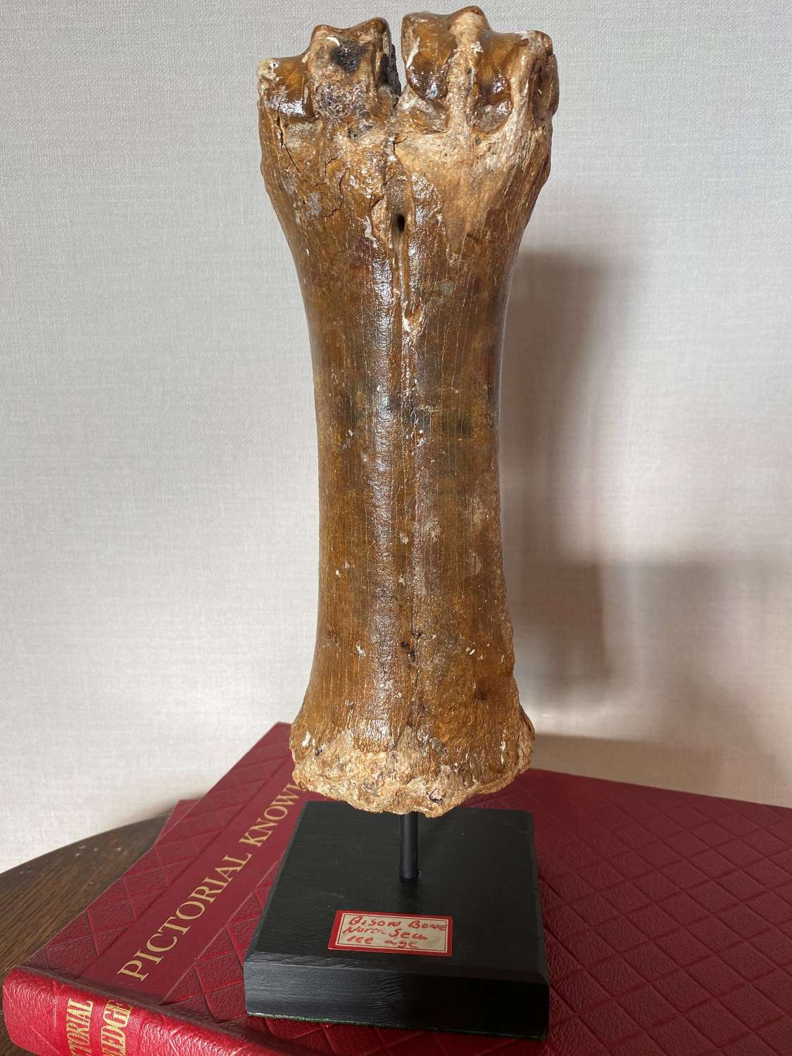 Ice Age Museum Mounted Bison Bone